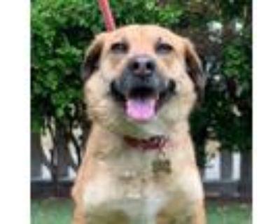 Adopt Jack a Labrador Retriever, Shepherd
