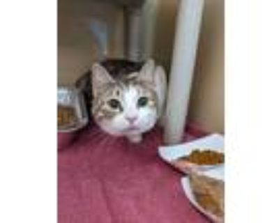 Adopt HONEY a Gray or Blue (Mostly) Domestic Shorthair / Mixed (short coat) cat
