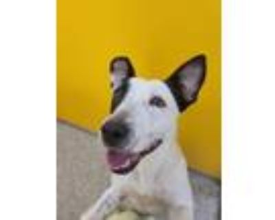 Adopt SPOTS* a Staffordshire Bull Terrier, Mixed Breed