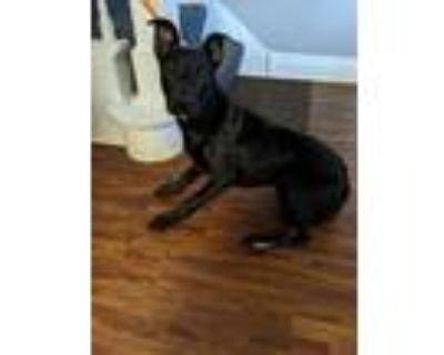 Adopt Cheyenne a Labrador Retriever
