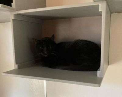 Female Domestic Short Hair named Bast available for adoption