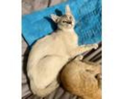 Adopt Blueberry a Gray or Blue (Mostly) Siamese / Mixed (medium coat) cat in