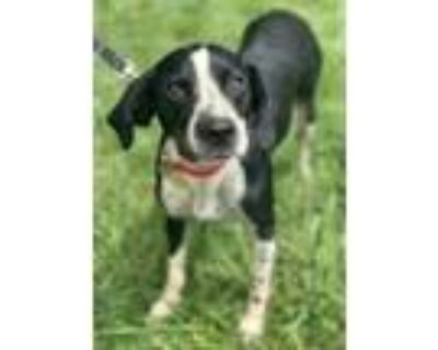 Adopt Fly a Black English Setter / Mixed dog in Chester Springs, PA (31612591)