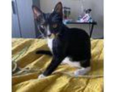 Adopt Stella Rose a Black & White or Tuxedo American Shorthair / Mixed (short