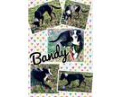 Adopt Bandy a Black - with White Border Collie / Labrador Retriever / Mixed dog