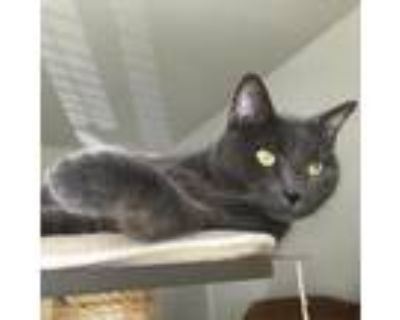 Adopt Greycie a Gray or Blue Domestic Shorthair / Mixed cat in Chesapeake