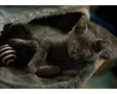 Adopt SsangYong a Gray or Blue Domestic Shorthair / Mixed cat in Merrifield
