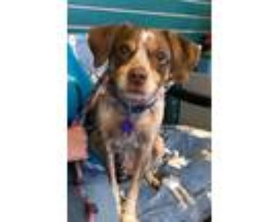 Adopt Knipper a Brown/Chocolate - with White Spaniel (Unknown Type) / Mixed dog