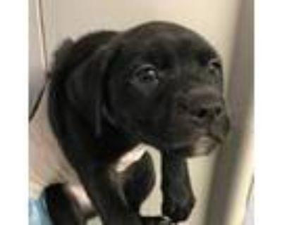 Adopt Ellie a Labrador Retriever, Shepherd