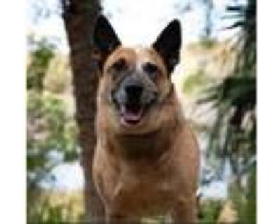 Adopt Jac Jac a Australian Cattle Dog / Blue Heeler