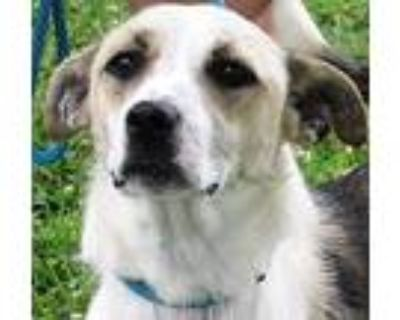 Adopt Jewel a Tan/Yellow/Fawn - with White Feist / Collie / Mixed dog in