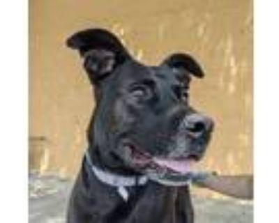Adopt Arya a Black Labrador Retriever / Mixed dog in Norfolk, VA (31719347)