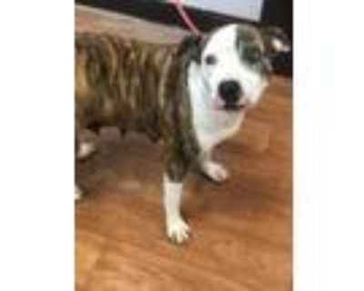 Adopt Enchilada a Brindle American Pit Bull Terrier / Mixed dog in Baton Rouge