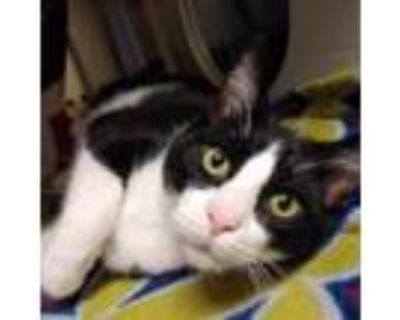 Adopt Waffles a All Black Domestic Longhair / Mixed cat in Merriam
