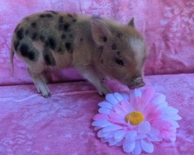 Mini Pigs for Sale!!