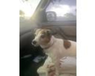 Adopt Apple a Tan/Yellow/Fawn Jack Russell Terrier / Terrier (Unknown Type