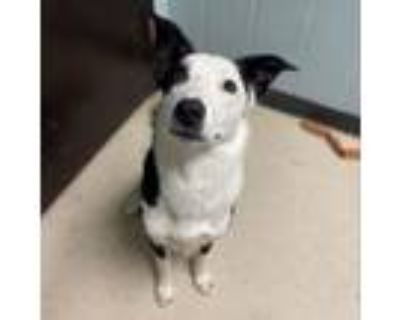 Adopt Graham a Border Collie, Mixed Breed