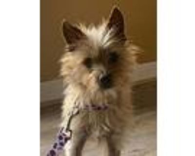 Biscuit, Cairn Terrier For Adoption In Encino, California