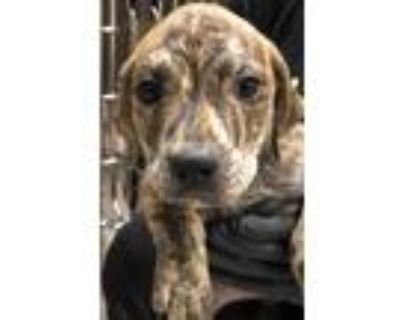 Adopt Marbles a Brown/Chocolate American Pit Bull Terrier / Mixed dog in