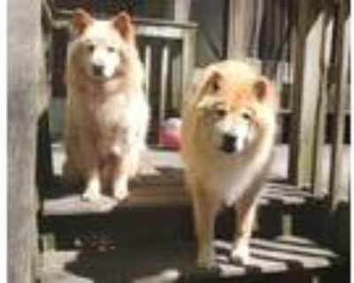 Adopt Shylow and Muchacha a Tan/Yellow/Fawn - with White Chow Chow / Husky /