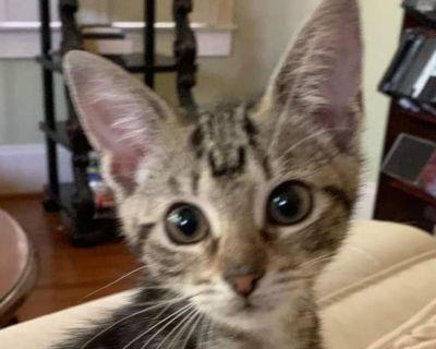 Brenna S - Domestic Shorthair - Kitten Female