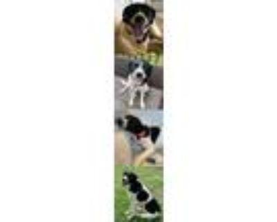 Adopt Darla a Labrador Retriever / Mixed dog in Chantilly, VA (31978682)