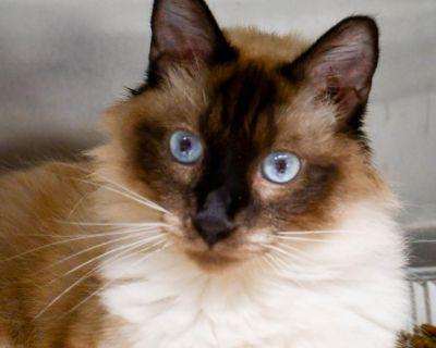 Randolph - Domestic Longhair/Siamese - Young Adult Male