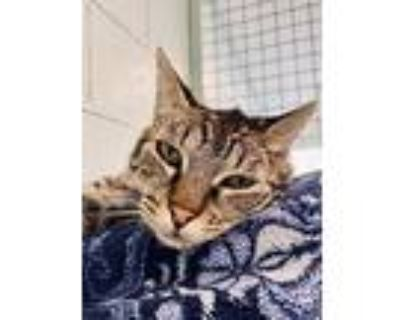 Tyson, Domestic Shorthair For Adoption In Redwood City, California