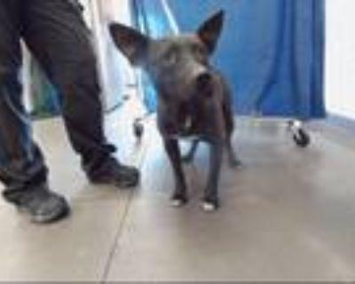 Adopt CHIP a Australian Cattle Dog / Blue Heeler, Mixed Breed