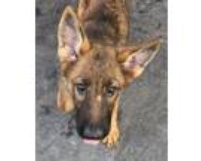 Adopt Ford a German Shepherd Dog