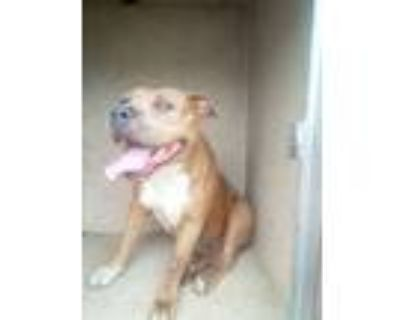 Adopt Margie a Pit Bull Terrier