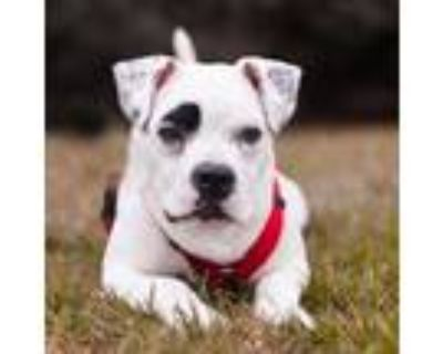 Adopt King a White - with Tan, Yellow or Fawn American Pit Bull Terrier dog in