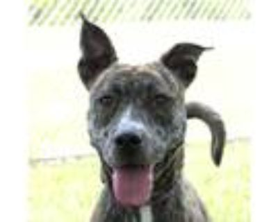 Adopt Bindie a Brindle - with White Pit Bull Terrier / Mixed dog in Troy