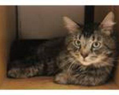 Adopt Bernie a Brown Tabby Domestic Mediumhair / Mixed (medium coat) cat in