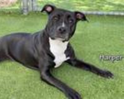 Adopt HARPER a Black - with White American Pit Bull Terrier / Mixed dog in Fort