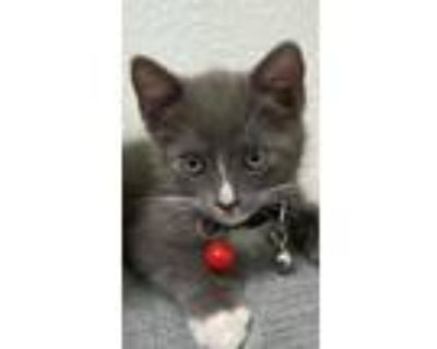Adopt Stormy a Gray or Blue (Mostly) Maine Coon / Mixed (medium coat) cat in