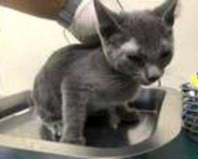 Adopt REX a Gray or Blue Domestic Shorthair / Mixed (short coat) cat in