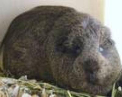 Adopt SMOKE a Guinea Pig