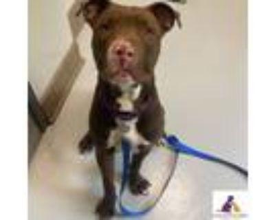 Adopt Geno a Terrier, Labrador Retriever