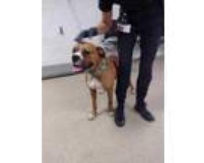 Adopt Max a Brown/Chocolate Boxer / Mixed dog in Fort Worth, TX (31474733)