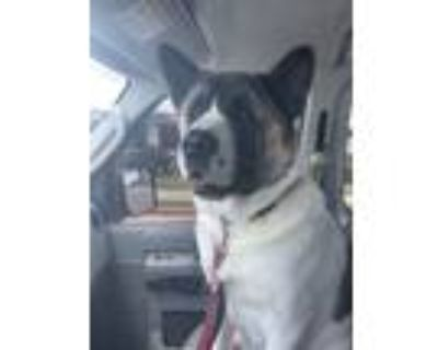 Adopt Pluto a Brindle - with White Akita / Mixed dog in Atlanta, GA (31711171)