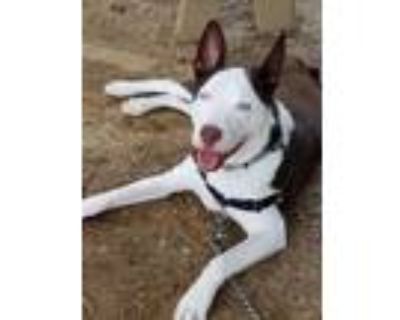 Adopt Balto a Brown/Chocolate - with White Husky / Affenpinscher / Mixed dog in