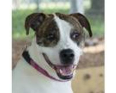 Adopt Snowball a Brindle - with White Pit Bull Terrier / Mixed dog in Troy