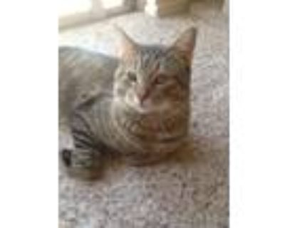 Adopt Rodger a Brown Tabby Domestic Shorthair (short coat) cat in Albuquerque
