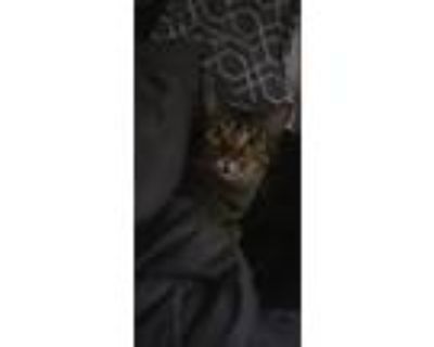 Adopt Minchi a Tan or Fawn Tabby Oriental (short coat) cat in Lawrenceville