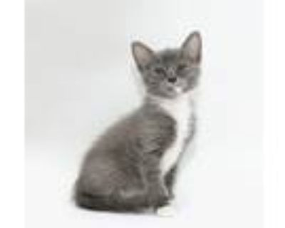 Adopt Bagel a Gray or Blue Domestic Shorthair / Domestic Shorthair / Mixed cat
