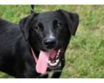 Adopt 48282362 a Black Labrador Retriever / Border Collie / Mixed dog in San