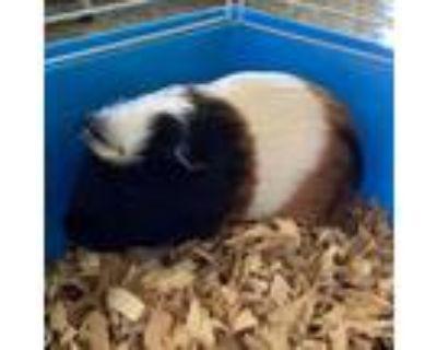Adopt Charles a Guinea Pig