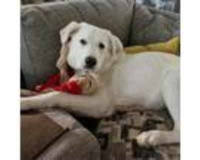 Adopt Big Kahuna a White - with Tan, Yellow or Fawn Great Pyrenees / Mixed dog