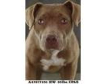Adopt Precious a Brown/Chocolate Terrier (Unknown Type, Small) / Mixed dog in